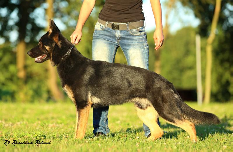 Frankenstein European K9 training base german shepherd dog