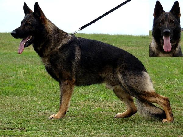 Dask z Jirkova Dvora german shepherd dog in batman pedigree