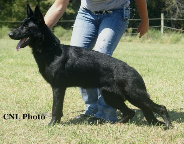 Yankee von Holtgrew german shepherd dog